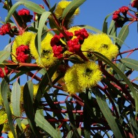 Top 10 Key Benefits of Eucalyptus